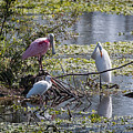 Eagle Lakes Park - Roseate Spoonbill And Friends, Socializing by Ronald Reid