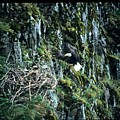 Eagle Landing On Nest by Larry Allan