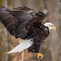 Eagle Landing On Perch by Paul Freidlund