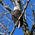 Eagle by Lisa Spero