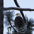 Eagle On A Frosted Limb by Jeff Swan
