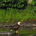 Eagle On A River Rock by Alice Markham