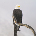 Eagle On A Snag  by Jeff Swan