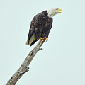 Eagle On A Stump by Clarence Alford