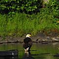 Eagle On River Rock II by Alice Markham