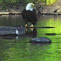 Eagle On River Rock IIi by Alice Markham