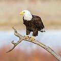 Eagle Overlooking Colorado River by Debbie Rudd