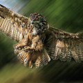 Eagle Owl Landing by Ceri Jones