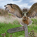 Eagle Owl On Signpost by Arterra Picture Library
