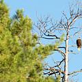 Eagle Perch by Linda Kerkau