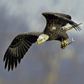 Eagle Power Dive by William Jobes