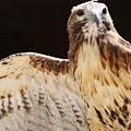 Eagle by Raquel Daniell