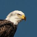 Eagle by Rod Wiens