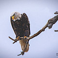 Eagle Searching by Mike Scheufler
