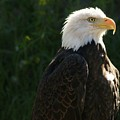 Eagle Spirit  by Amanda Martin