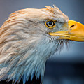 Eagle With An Attitude by Bill Tiepelman