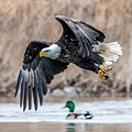 Eagle With Lunch by Paul Freidlund