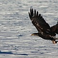 Eagle_7894 by Joseph Marquis