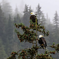 Eagles On Watch 1 by Charles Herbella
