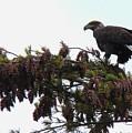 Eaglet In Pines by Karen Velsor