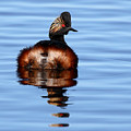 Eared Grebe Reflecting On Calm Water by Max Allen