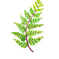 Eared Lady Fern by Color Color