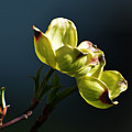 Early Dogwood Blossoms by Kathleen Stephens