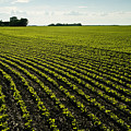 Early Growth Soybean Field by Dave Reede