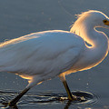 Early Morning Light On Egret by Marc Crumpler