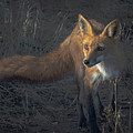 Early Morning Red Fox Prowl by Leslie Reagan -  Joy To The Wild Photos