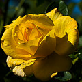 Early Morning Rose by Kenneth Albin