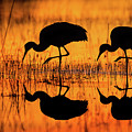 Early Morning Sandhill Cranes by Christopher Ciccone
