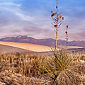 Early Morning Yucca - White Sands - New Mexico by Nikolyn McDonald