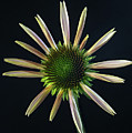 Early Stage Of Cone Flower Bloom by Douglas Barnett