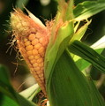 Ear's To You Corn by Angela Rath