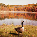 Earth Tone Autumn Pond Goose by Aimee L Maher ALM GALLERY