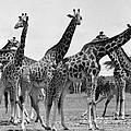 East Africa: Giraffe by Granger