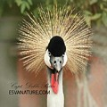 East African Crowned Crane 4641 by Captain Debbie Ritter