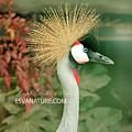 East African Crwonded Crane by Captain Debbie Ritter