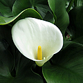 Easter Lily 2 by J M Farris Photography