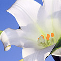 Easter Lily Back Lit By The Sun  by Geraldine Scull
