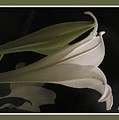 Easter Lily Card by Nancy Griswold