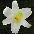 Easter Lily With Black Background by Marian Bell