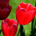 Easter Tulips by Kathy R Thomas