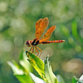 Eastern Amber Wing Dragonfly by Kenneth Albin