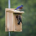 Western Blue Bird by James Farrell