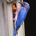 Eastern Bluebird And Chick by Alan Lenk