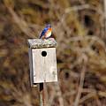 Eastern Bluebird by Debbie Oppermann