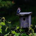 Eastern Bluebird In The Rain by Peggy McDonald