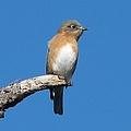 Eastern Bluebird by J M Farris Photography